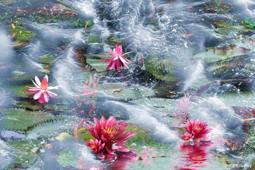 Lotusblüten im Meer